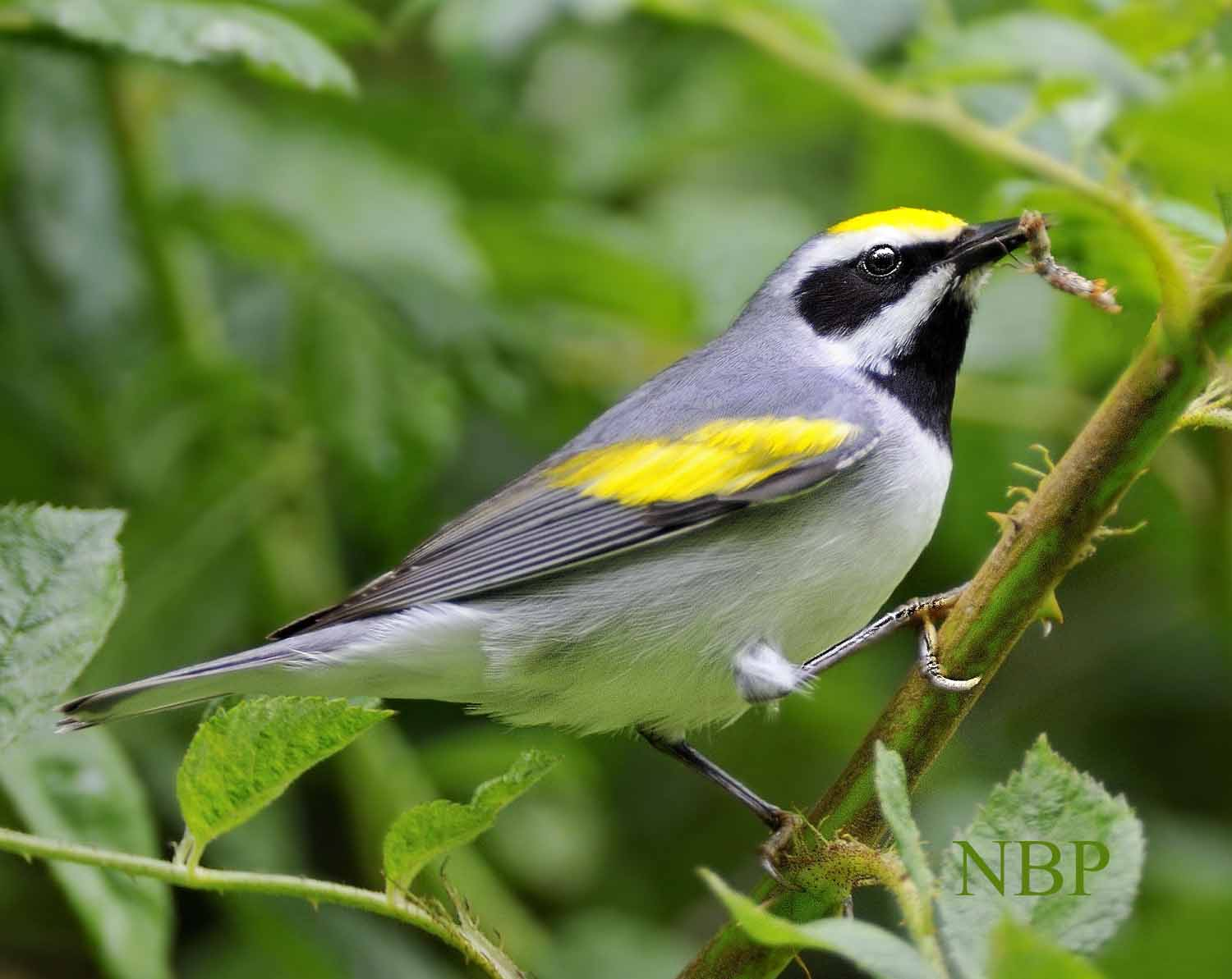 1_golden wing warbler 10 catipillar 10 perfect profile.s91 r11 NR