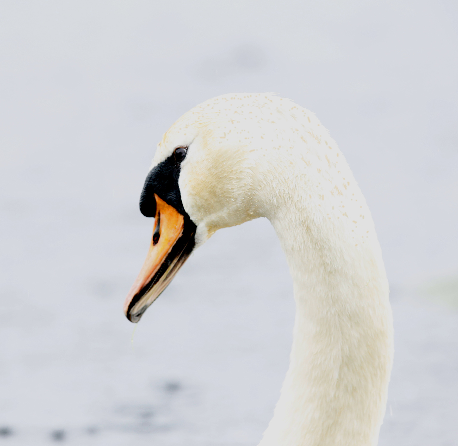 2__MG_1703 copy swan