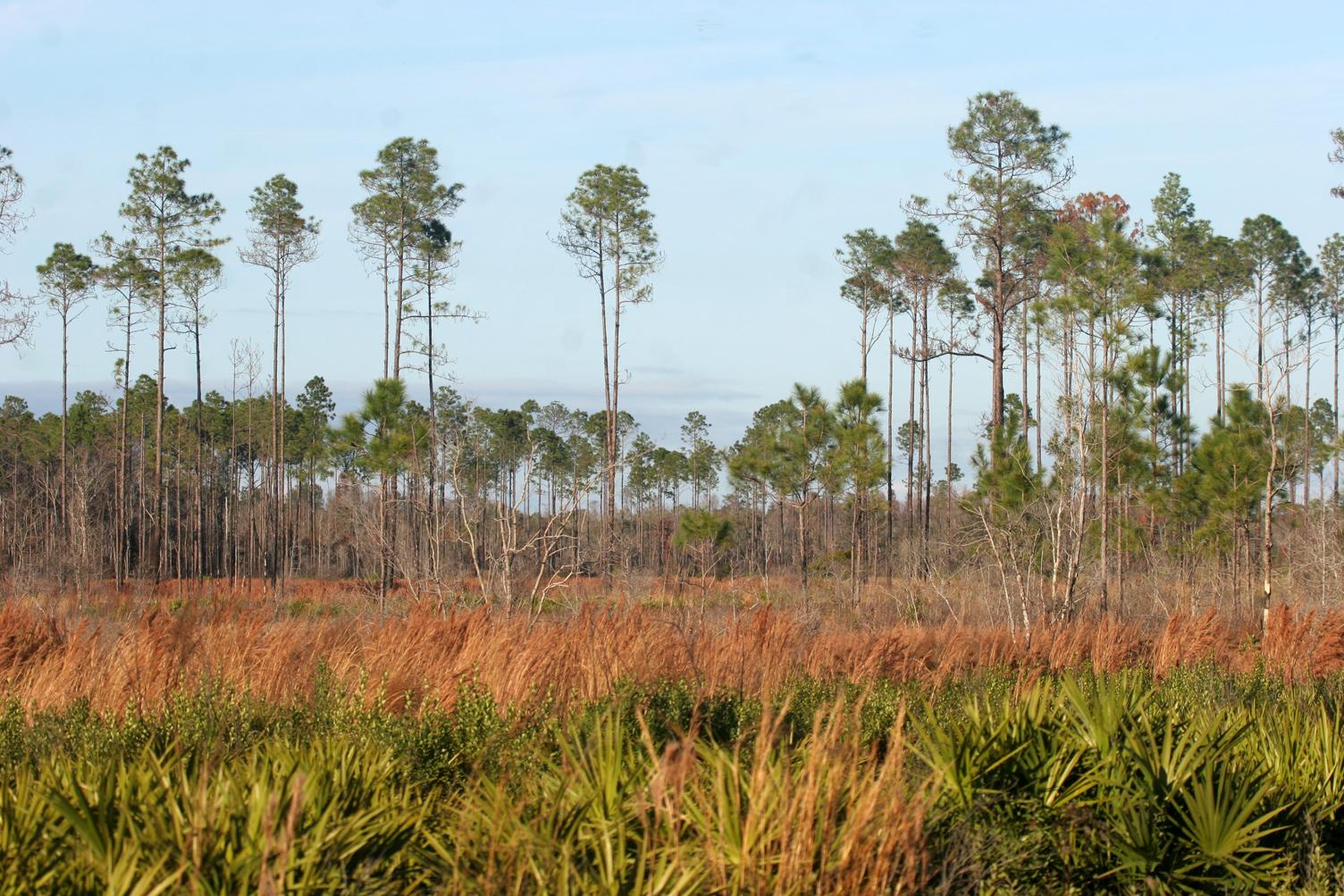 AA aaaaa FL Green Swamp 08 Pine Gob 2 opy