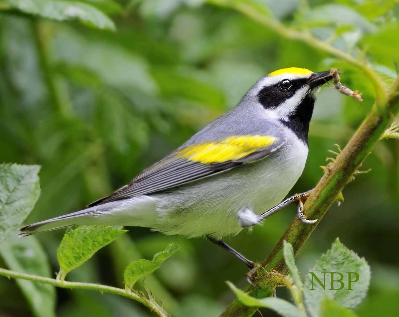 1_golden wing warbler 10 catipillar 10 perfect profile.s91 r11 NR