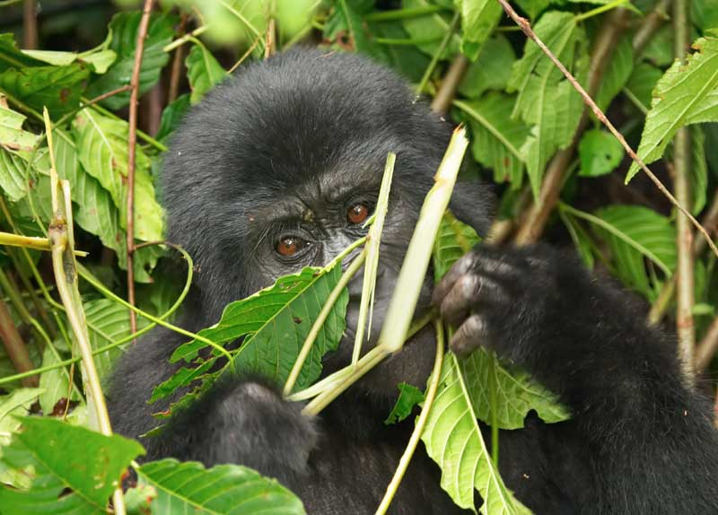 Eastern mountain gorilla baby in rainforest of Uganda