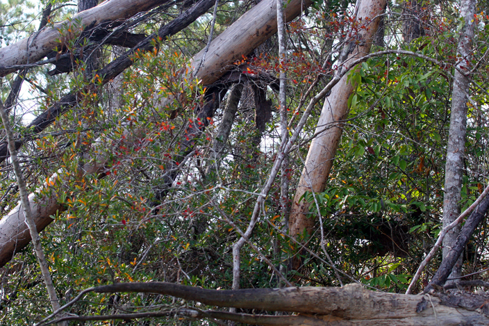AA Choctawhatchee River, FL O copy dead trees bank ivory bill copy