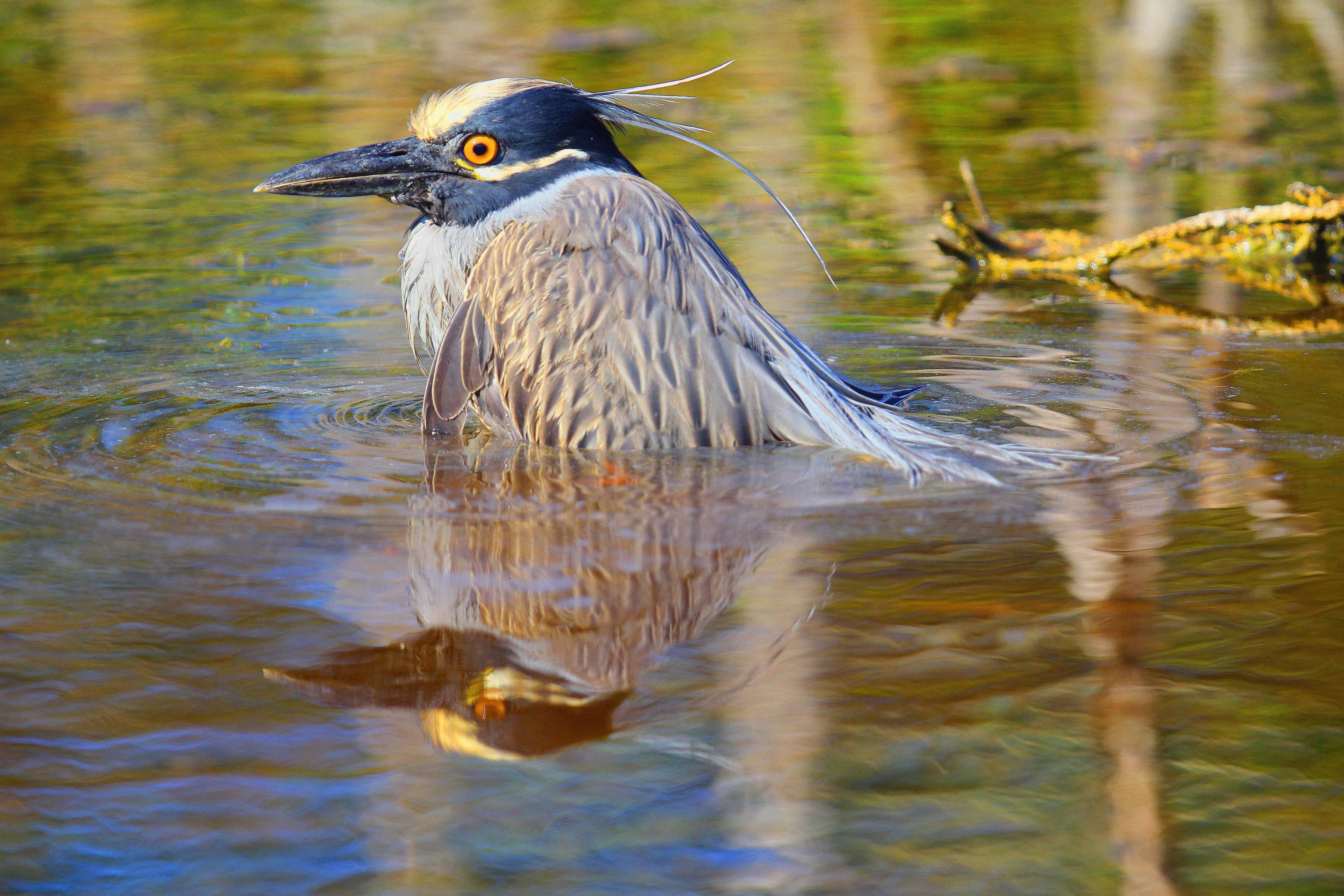 a black-crowned night heron IMG_5844 copy
