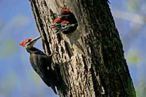pileated image003 copy