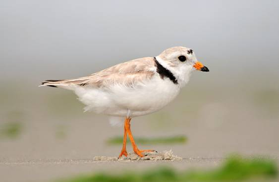 plover image002